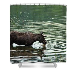 Young Moose In Pond Shower Curtain