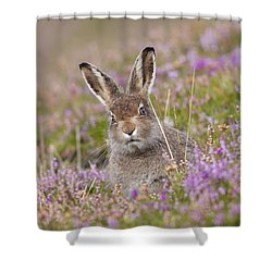 Young Mountain Hare In Purple Heather Shower Curtain