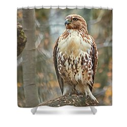Young Red Tailed Hawk  Shower Curtain
