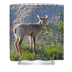Young Rocky Mountain Bighorn Sheep Shower Curtain by Louise Heusinkveld