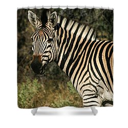 Zebra Watching Shower Curtain