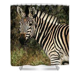 Zebra Watching Sq Shower Curtain