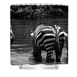 Zebras Cautiously Drinking Shower Curtain by Darcy Michaelchuk