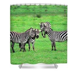 Zebras Shower Curtain by Sebastian Musial