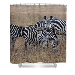 Zebras Walking In The Grass 2 Shower Curtain