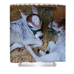 Zebu Calves Shower Curtain by Warren Thompson