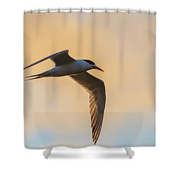 Crested Tern In The Early Morning Light Shower Curtain