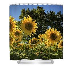 Sunlit Sunflowers Shower Curtain