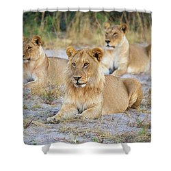 Shower Curtain featuring the photograph 3 Lions by John Rodrigues