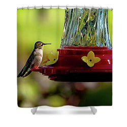 Shower Curtain featuring the photograph Female Ruby Perched by Onyonet  Photo Studios