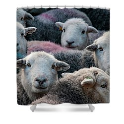 Flock Of Herdwicks Shower Curtain