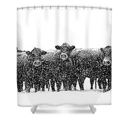 Frosty Faces Black Angus Cows Montana Shower Curtain