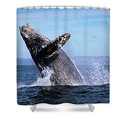 Humpback Breaching - 01 Shower Curtain