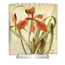 Iris Cuprea Copper Iris.  Shower Curtain