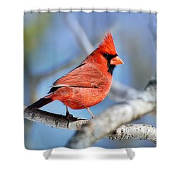 Shower Curtain featuring the photograph Northern Cardinal Scarlet Blaze by Christina Rollo