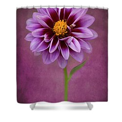 Shower Curtain featuring the photograph Purple Dahlia by John Rodrigues