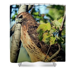 Red-tailed Hawk Looking Down From Tree Shower Curtain