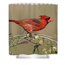 South Texas Cardinal Shower Curtain