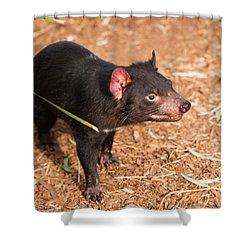 Shower Curtain featuring the photograph Tasmanian Devil In Hobart, Tasmania by Rob D