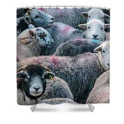 The Herdwicks Shower Curtain