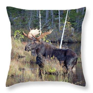 0340 Bull Moose 2 Throw Pillow
