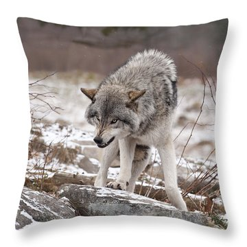 Throw Pillow featuring the photograph Adult Timber Wolf by Wolves Only