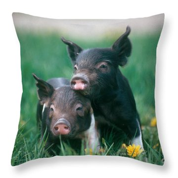 Domestic Piglets Throw Pillow by Alan Carey