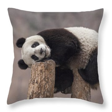 Giant Panda Cub Wolong National Nature Throw Pillow by Katherine Feng