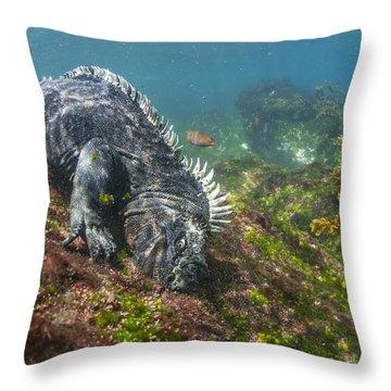 Marine Iguana Feeding On Algae Punta Throw Pillow