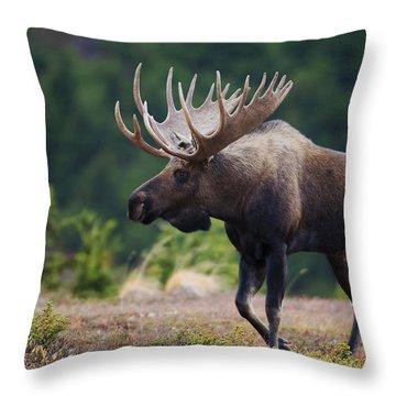 Moose Bull Walking On Autumn Tundra Throw Pillow by Milo Burcham