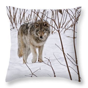 Throw Pillow featuring the photograph Timber Wolf by Wolves Only