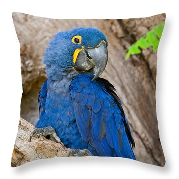 Close-up Of A Hyacinth Macaw Throw Pillow