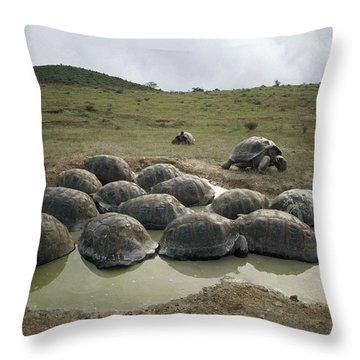 Galapagos Giant Tortoises Wallowing Throw Pillow by Tui De Roy