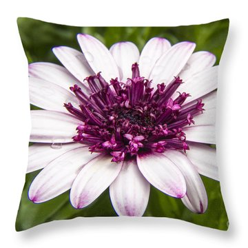 3d Berry White Cape Daisy - Osteospermum  Throw Pillow by Darleen Stry