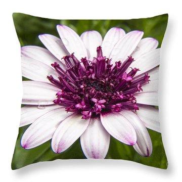 3d Berry White Cape Daisy - Osteospermum  Throw Pillow