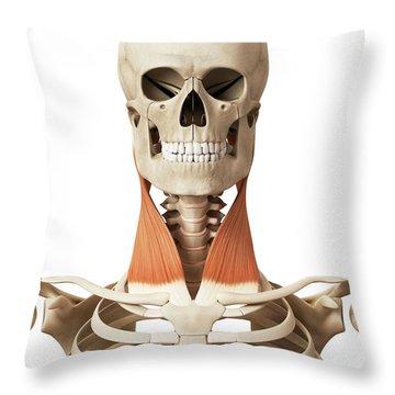 Sternocleidomastoid Muscle Art   Fine Art America