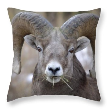 A Big Ram Caught With His Mouth Full Throw Pillow by Jeff Swan