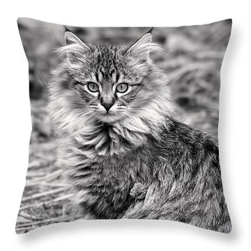 A Young Maine Coon Throw Pillow
