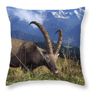 Alpin Ibex Male Grazing Throw Pillow by Konrad Wothe