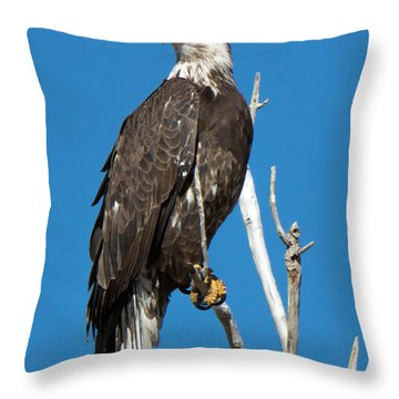 American Bald Eagle On Limb Throw Pillow