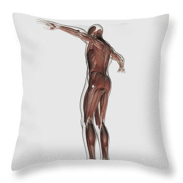 Anatomy Of Male Muscular System Throw Pillow by Stocktrek Images