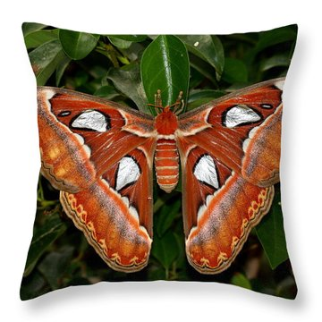 Throw Pillow featuring the photograph Atlas Moth by Ruth Jolly