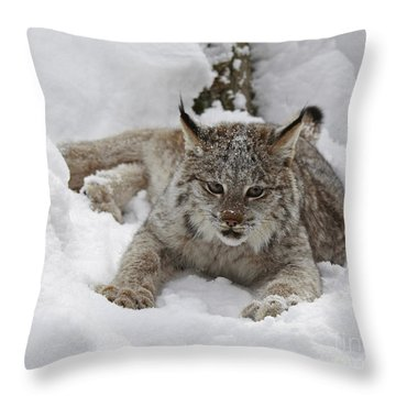 Baby Lynx On A Lazy Winter Day Throw Pillow by Inspired Nature Photography Fine Art Photography