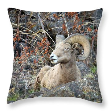 Throw Pillow featuring the photograph Bedded Bighorn by Steve McKinzie