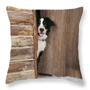 Bernese Mountain Dog At Log Cabin Door Throw Pillow by John Daniels