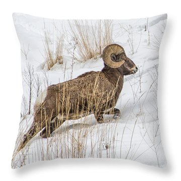Bighorn In Yellowstone Throw Pillow by Alan Toepfer