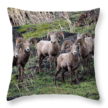 Bighorn Reunion Throw Pillow by Steve McKinzie