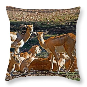 Blackbuck Female And Fawns Throw Pillow