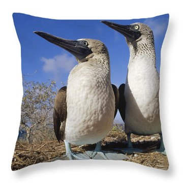 Blue-footed Booby Courting Couple Throw Pillow by Tui De Roy