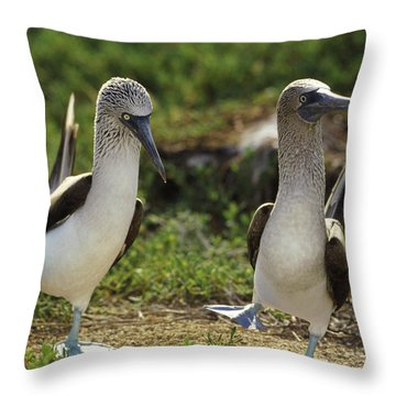 Blue-footed Booby Pair In Courtship Throw Pillow by Tui De Roy